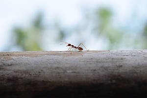 Imron, Sama-ae/Ant walking on steel wire/image.shutterstock.com